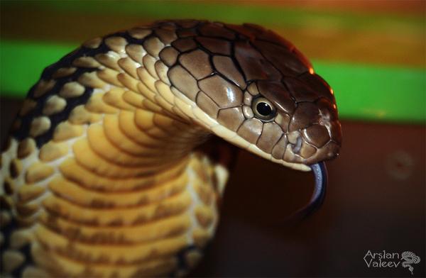 кобра фото змея