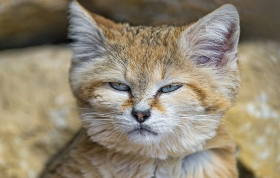Барханный кот Кот, Барханный кот, Огорчение, Взгляд, Пушистый