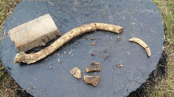 """Копали яму, нашли кости, может кто подскажет их """"владельца"""" ? Кости, Раскопки, Мамонт, Находка, Моё, Длиннопост"""