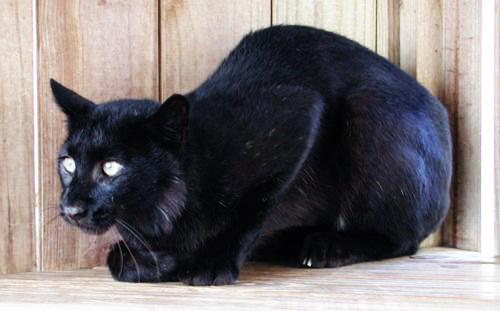 Чёрная рысь рысь, дикая кошка, животные, кот, черный, меланист, флорида