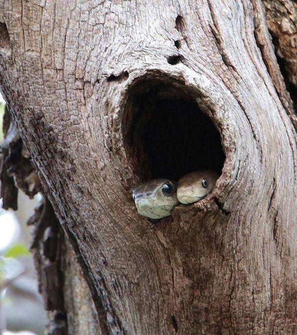 Две крайне опасные змеи в одной засаде)) Змея, Ядовитая змея, Пресмыкающиеся, Африка, Мамба