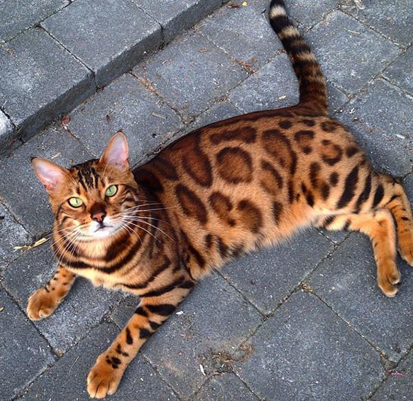 Знакомьтесь, бенгальский кот по кличке Тор с идеально красивой шерсткой Бенгальская кошка, Животные, Кот, Длиннопост
