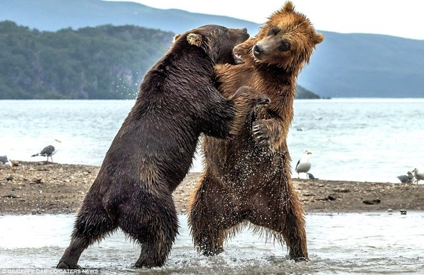 Как два медведя территорию делили ... Природа, Животные, Медведь, Борьба, Длиннопост