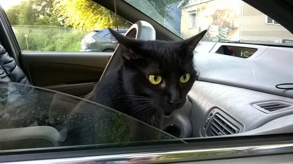 Первая поездка Кот, Машина, Фото, Черный кот