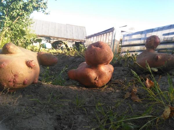 """""""Вредители. Противостояние"""" Белорусская картошка, Огород, ГМО, Marvel, Чернобыль"""