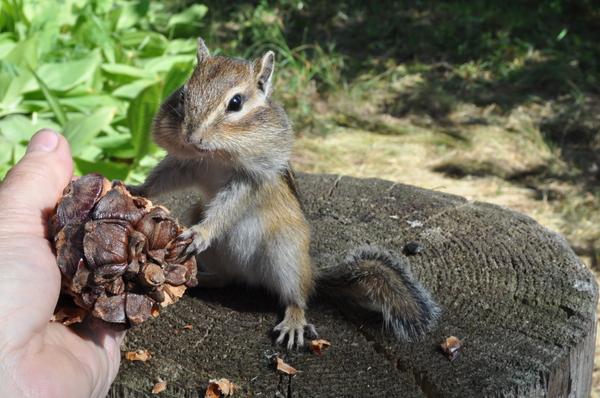 Бурундук угощается кедровой шишкой Бурундук, Животные, Дача, Сибирь