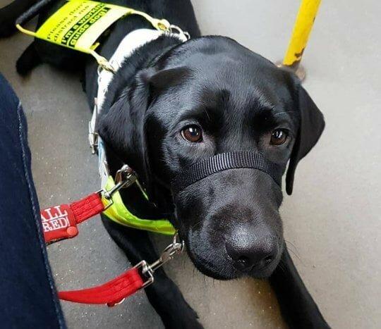 Слепой девушке предложили выйти из автобуса из-за цвета ее собаки Слепые, Собака, Собака-Поводырь