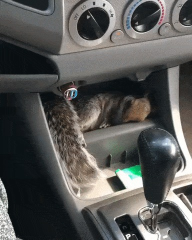 Садишься такой в машину, а у тебя там белка дрыхнет