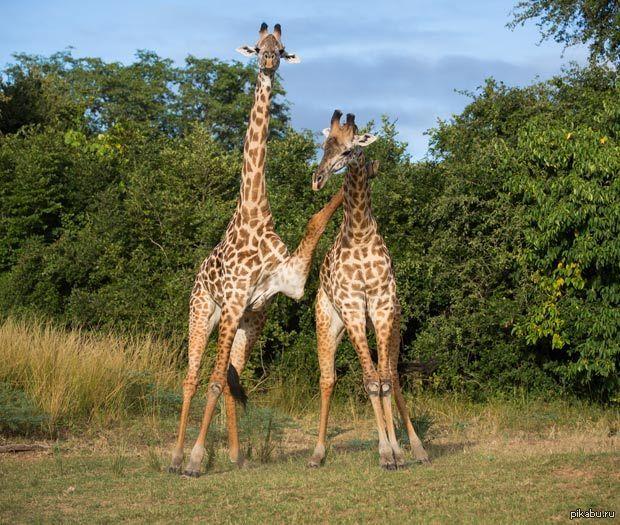 Картинка с жирафами налейте мне еще средние века
