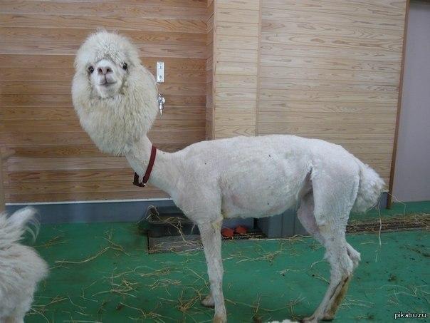 стриженная лама