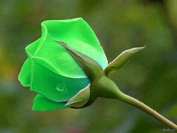 роза зелёная фото
