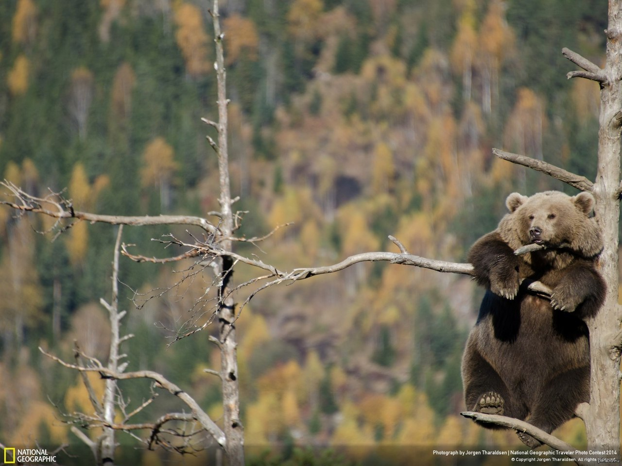 много медведей на дереве