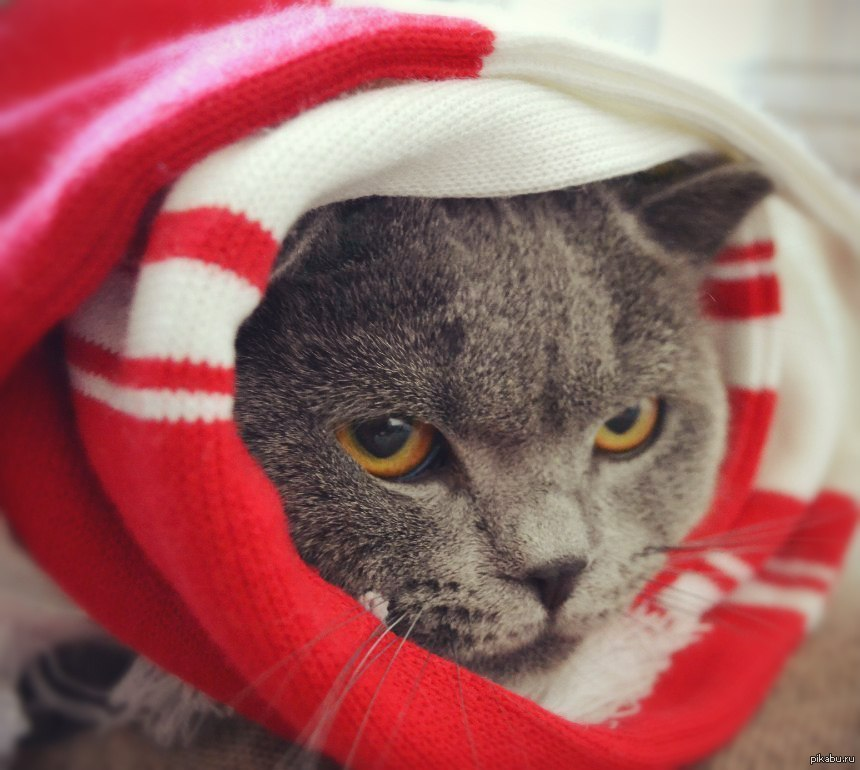 Картинка кот спартак