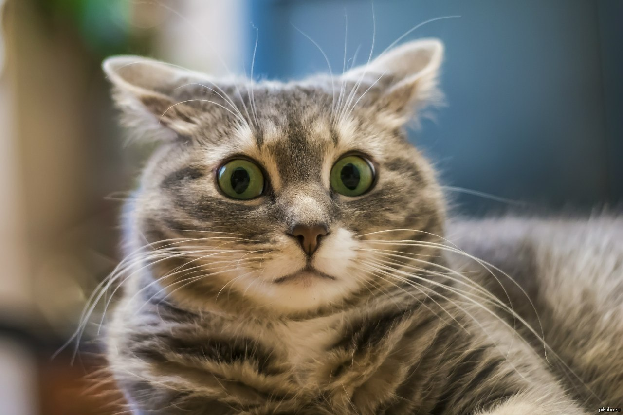 Своими руками, прикол удивленный кот картинка