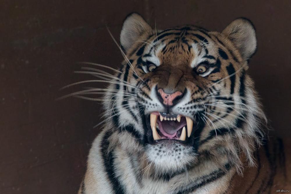 Картинки тигров смешных, для открытки юбилеем