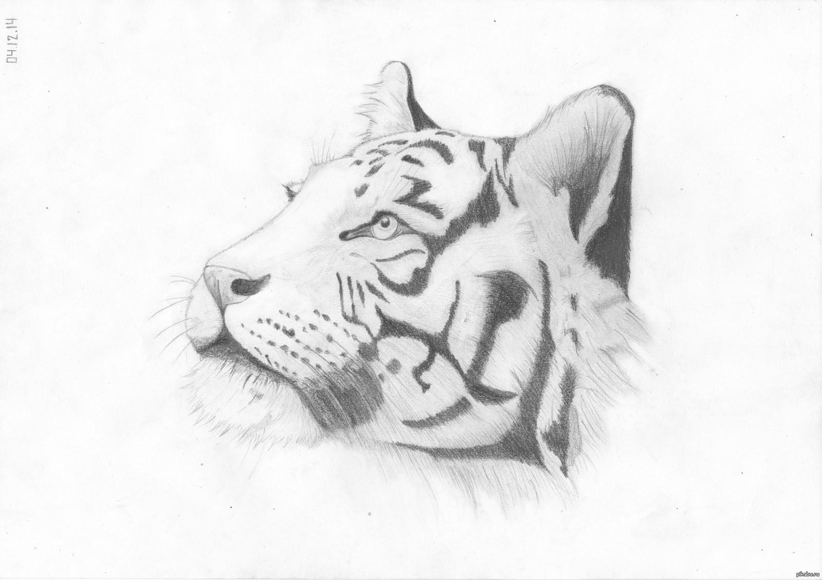 Рисунки простым карандашом тигр