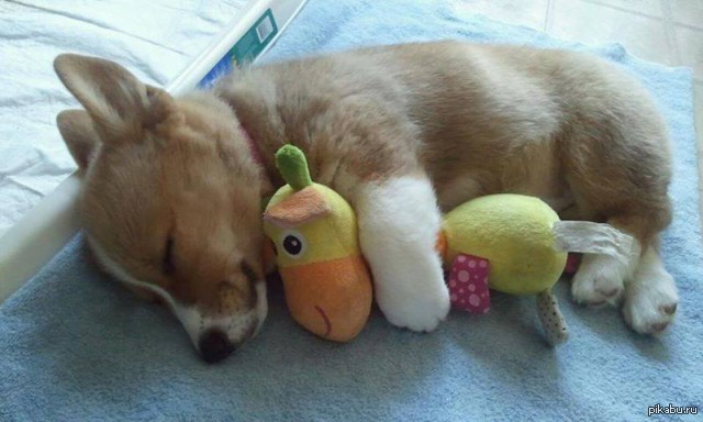 корги спит фото