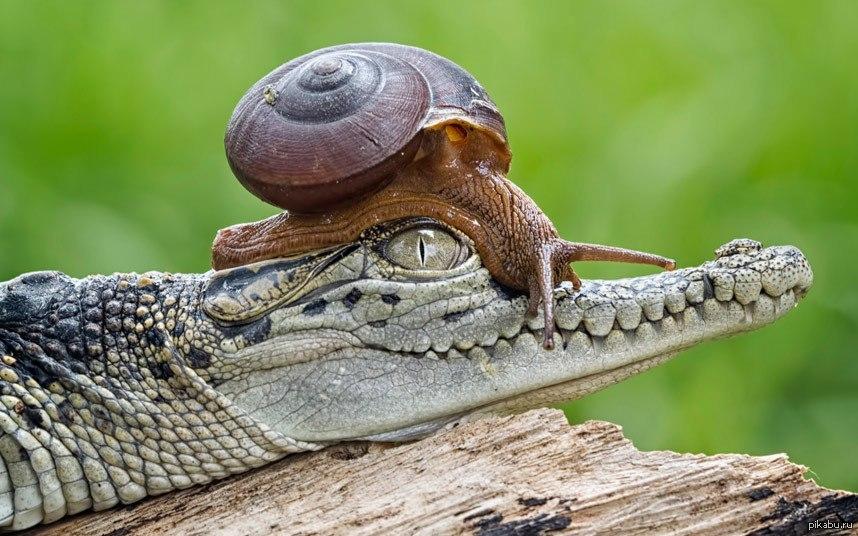Прикольная картинка крокодил