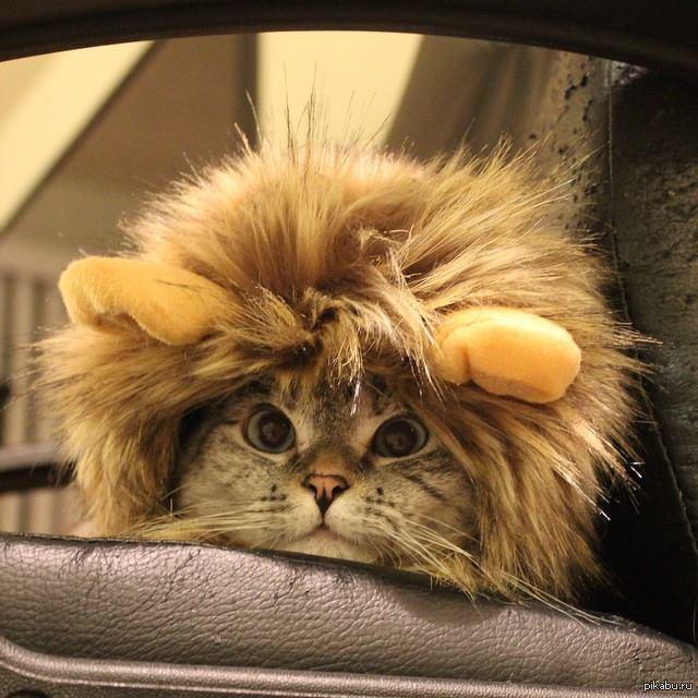 отдыха фото кота в шапке льва встретите