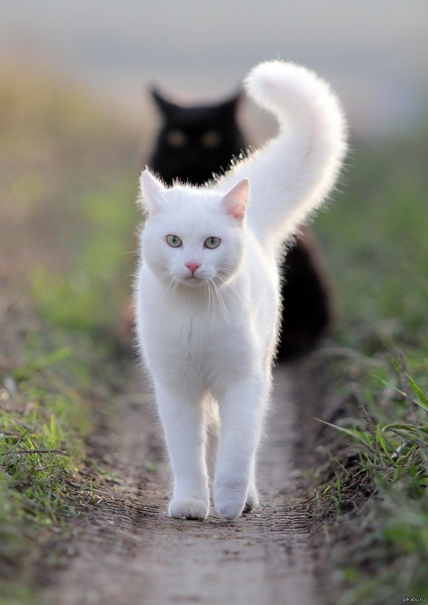 Картинки кот белый кот черный
