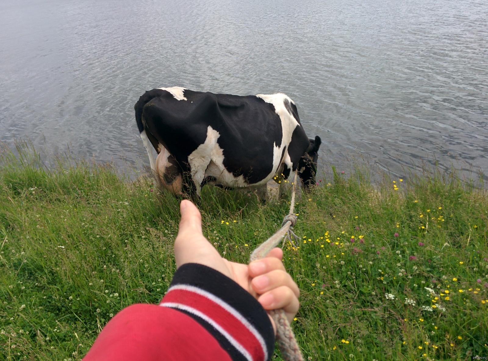 Корова с 6 сиськами