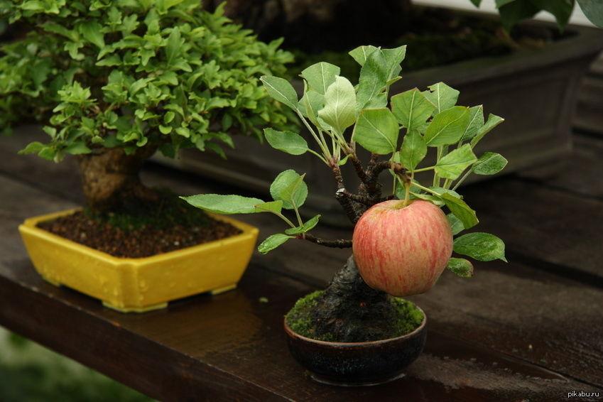 Картинки по запросу на бонсай яблоня