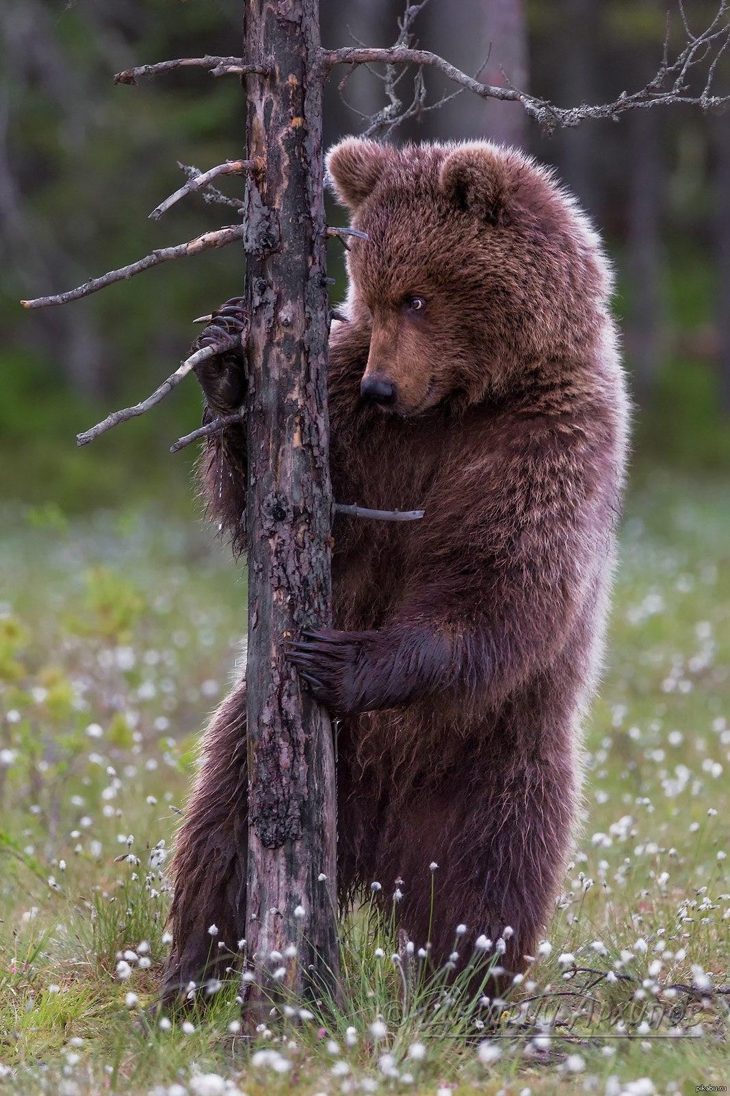 честь таинственного красивые медвежата картинки нашем уровне