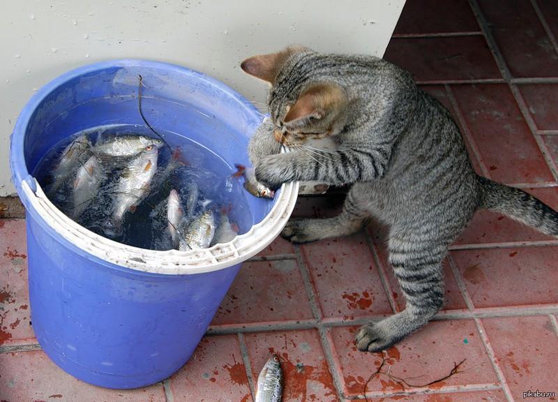 Картинки веселые кот ворует рыбу