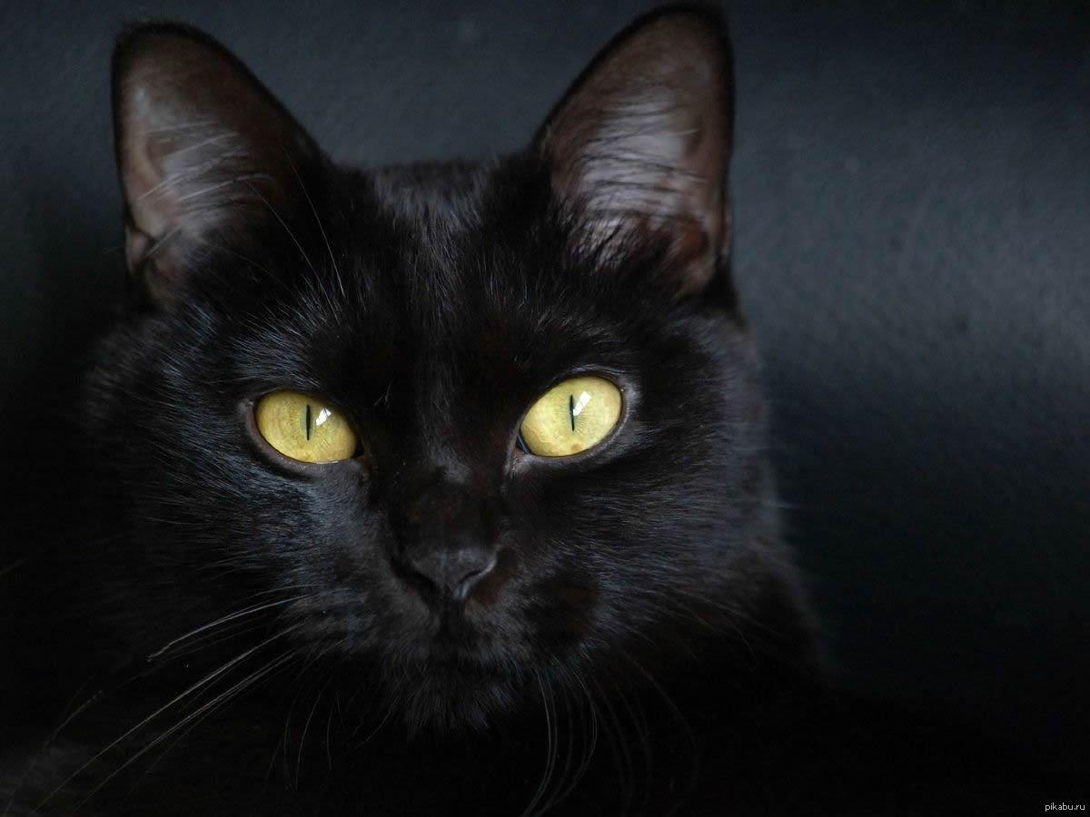 black cat breeds - HD1600×1200