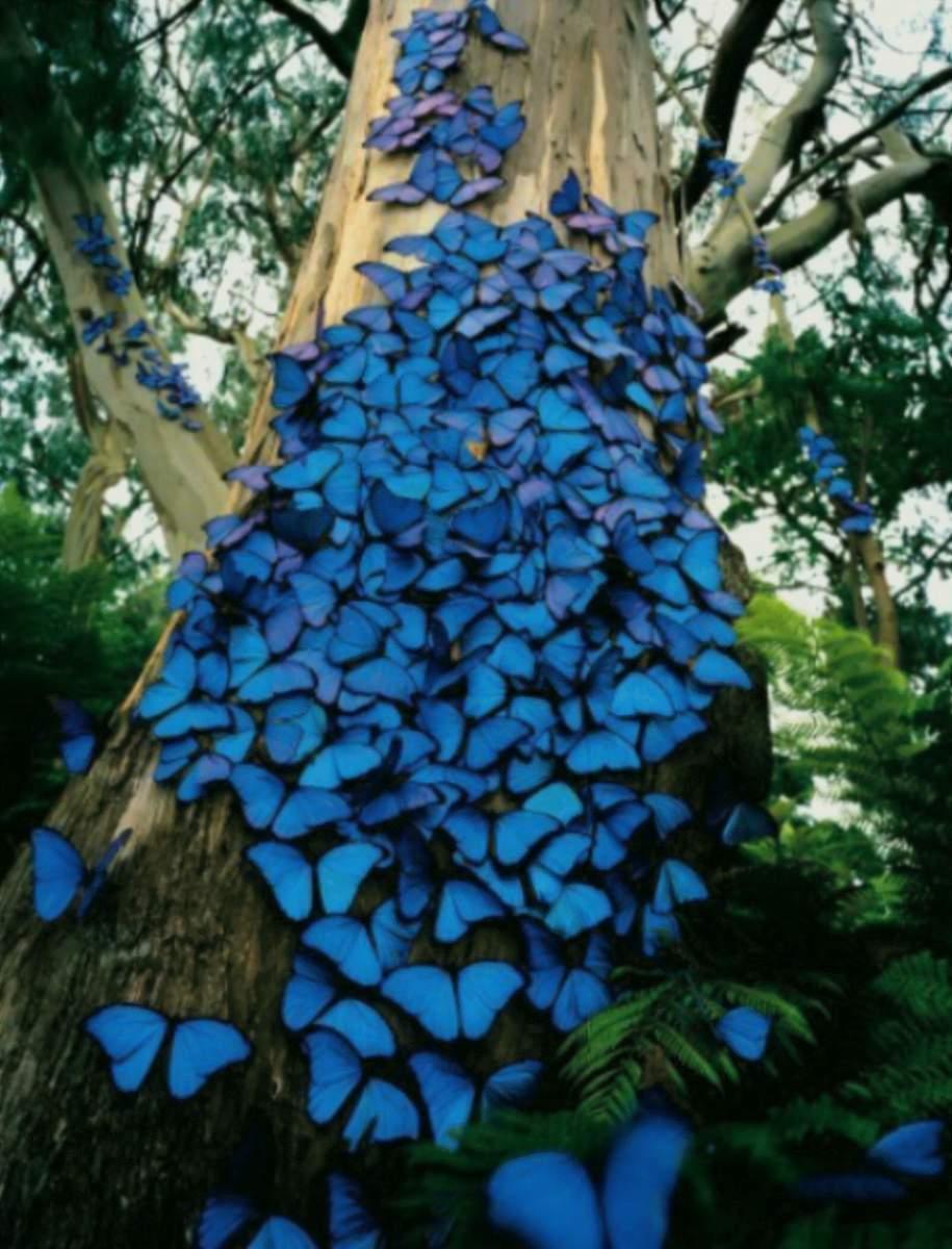 морфо фото бабочка