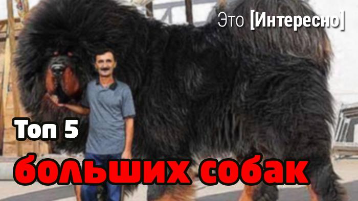 самых крупных собак фото