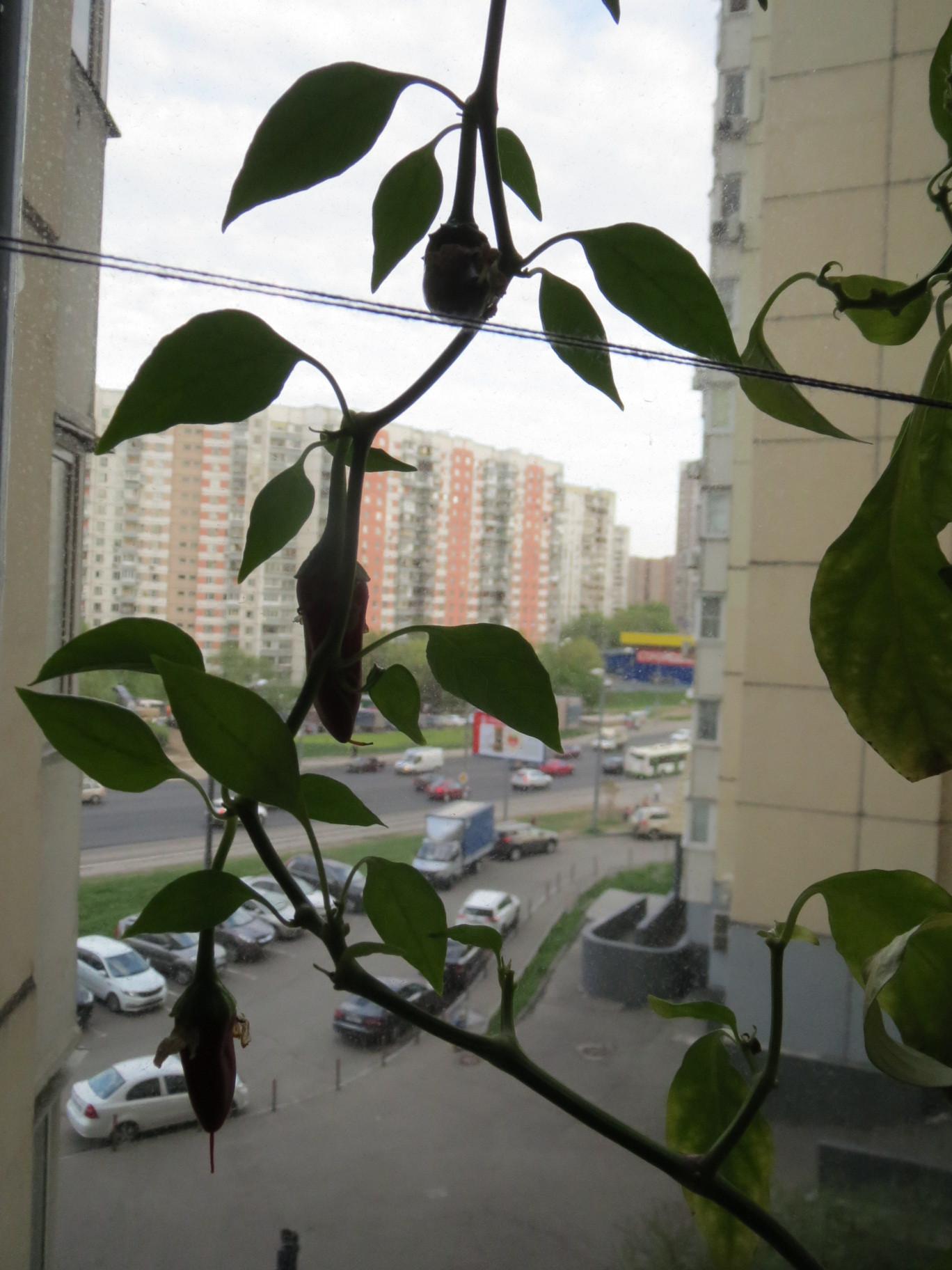 Выращиваем горький или острый перец в квартире: на подоконнике или балконе