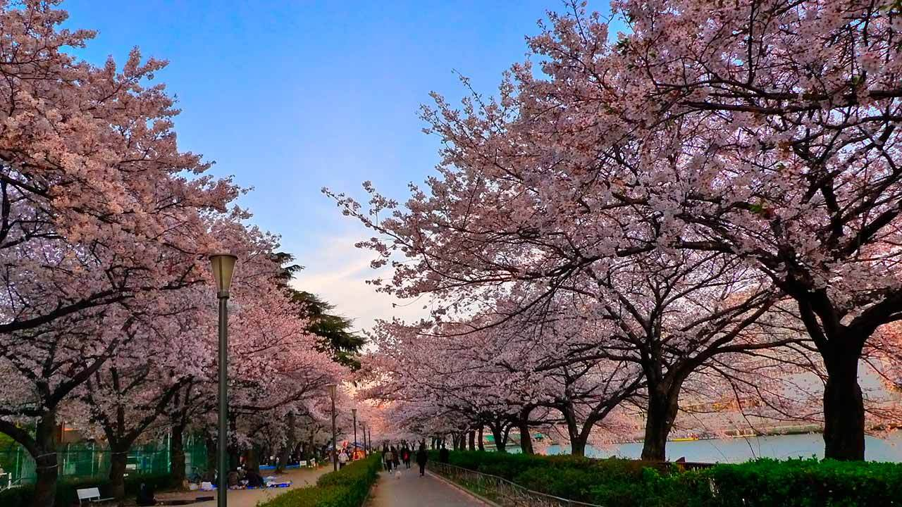Цветение сакуры в японии ^-^ » — карточка пользователя Анна в ...