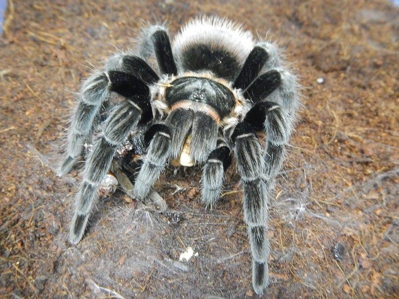 Пауки в домашних условиях: кормление, уход, размножение. Как 55