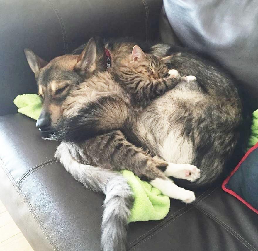 Пикабу собака и кот