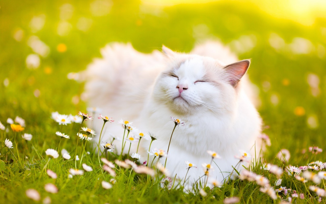 Кот в ромашках фото