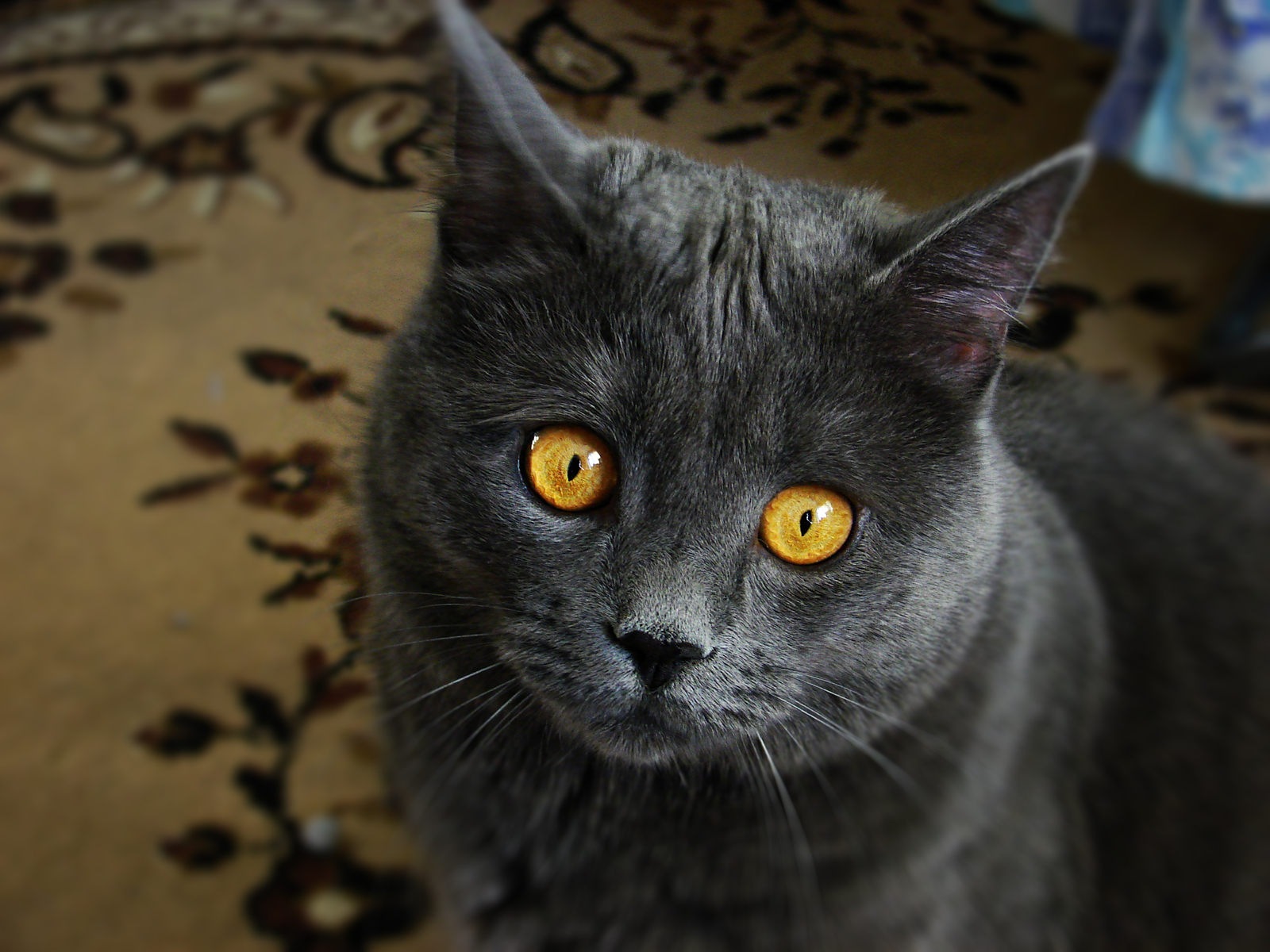 кот фото серый
