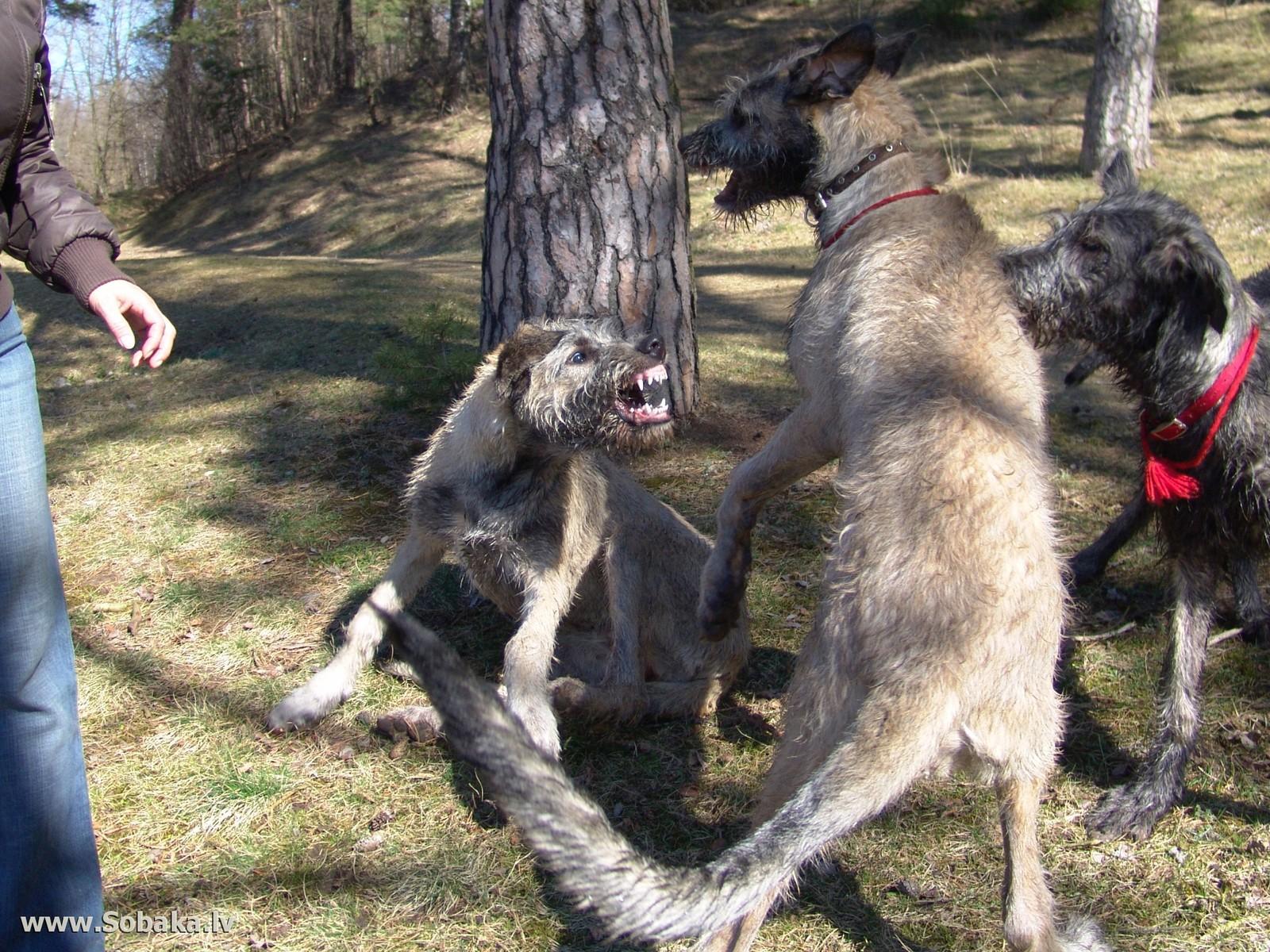 Собака и волк своими руками