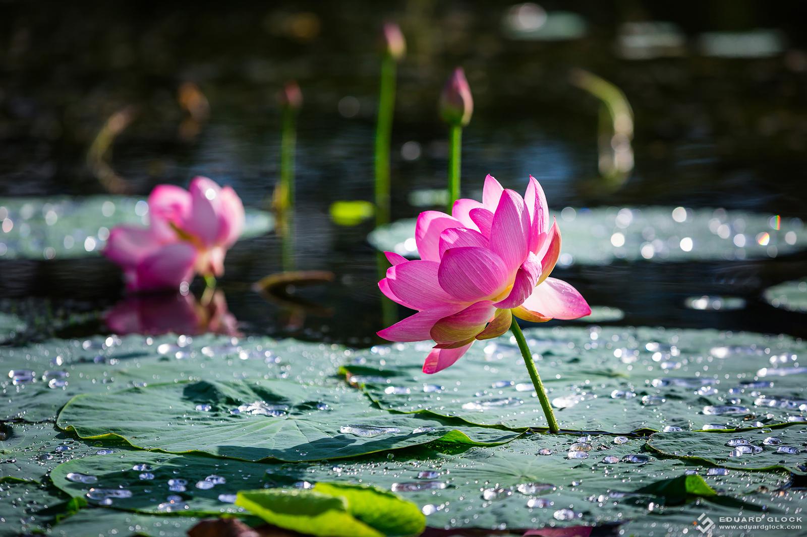 Один цветок лотоса второй