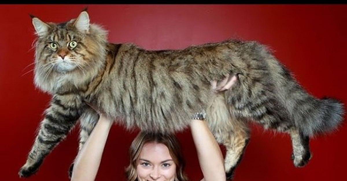 картинки про самую большую кошку